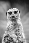 Black and white photo of meerkat looking straight at the camera