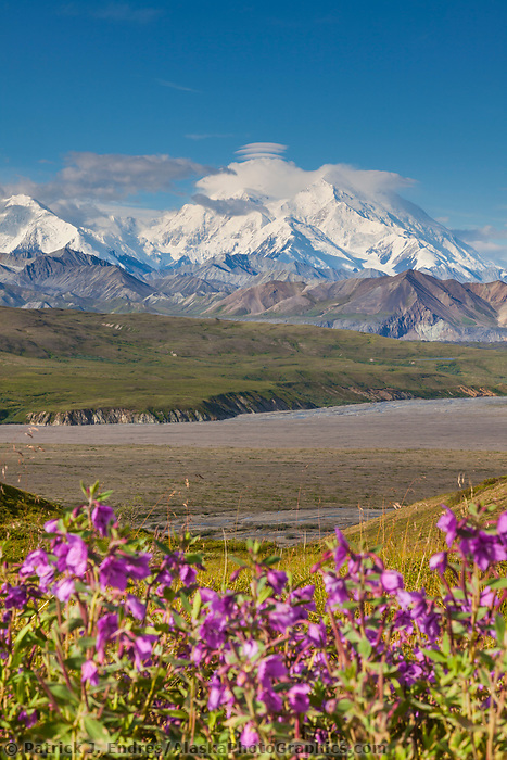 Dwarf fireweed in pink summer bloom in the foreground with the summit of Denali in the distance, viewed from Eielson Visitor's Center, Denali National Park, interior, Alaska.