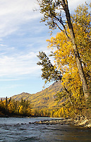A tree leans over the upper Kenai River at the peak of fall colors