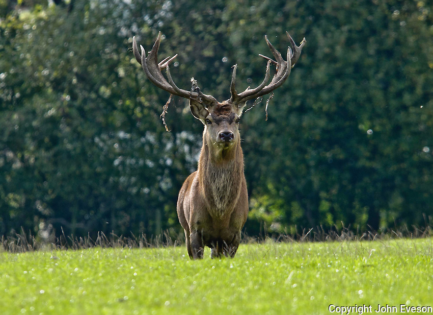 Red Deer stag.Yorkshire.