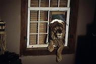 Vassouras, district of Rio de Janeiro, Brazil. 1981.  A family in Africa is besieged by a group of lions, driven mad by the drought. They have to survive multiple attacks but some of their colleagues are eaten by the lions. From the film Savage Harvest, directed by Robert E. Collins. The lions attacked the house by coming through the kitchen window.