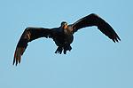 Cormorant Flight head-on Double-crested Cormorant Sepulveda Wildlife Refuge LA