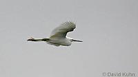 0201-08zz  Flying Snowy Egret, Egretta thula © David Kuhn/Dwight Kuhn Photography
