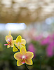 An orchid in a greenhouse at Carmela Orchids in Hilo, Hawaii. Photo by Kevin J. Miyazaki/Redux