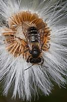 Gelbfüßige Sandbiene, Gemeine Sandbiene, Andrena flavipes, Yellow-legged mining bee, Yellow-legged mining-bee