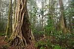 subtropical rainforest, Binna Burra section, Lamington National Park, Queensland, Australia