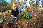 Kendall McDonald of the office of sustainability, along with other volunteers, takes part in the Green Fund's native plant project where they plant wood aster and Christmas fern on campus.  Photo by Kevin Bain/University Communications Photography