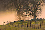 Base oaks await enveloping within the sea of winter fog at the edge of the Great Central Valley at sunset from the SIerra Foothills.