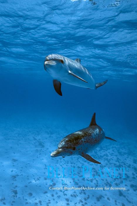 Atlantic Spotted Dolphin, Stenella frontalis, pair underwater on the Little Bahama Banks, Grand Bahama Island, Bahamas, Caribbean, Atlantic