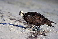 Osprey - Pandion haliaetus - adult