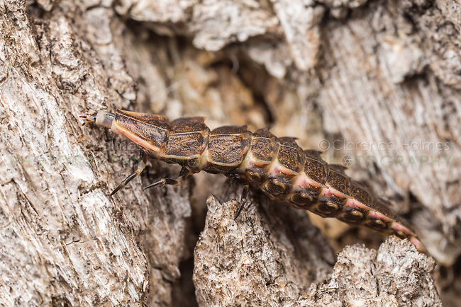 A firefly larva (Pyractomena borealis) crawls on the side of a tree.