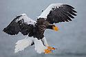 Japan, Hokkaido, Steller's sea eagle landing in snowstorm