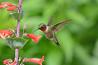 Courtesy photo/TERRY STANFILL<br /> HUMMING ALONG<br /> A ruby-throated hummingbird sips nectar from a scarlet beardtongue in west Benton County. Terry Stanfill of the Decatur area took the picture May 22 at his home.
