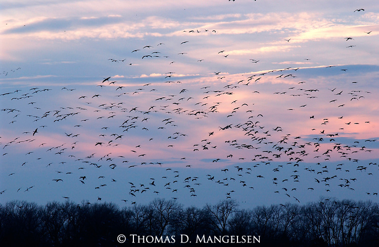 Flying to roost against a velvet western sky, sandhill cranes by the thousands return to their nightly resting place along sandbars and shallows on Nebraska's Platte River.