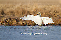 00758-01203 Trumpeter Swan (Cygnus buccinator) flapping wings in wetland, Marion Co., IL