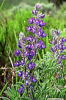 Coulter's Lupine (Lupinus sparsiflorus) An annual herb which prefers a drier environment than most lupine varieties. One of the most conspicuous of the spring flowers in a mass bloom, Coulter's Lupine is able to fix nitrogen from the air into the soil, enabling the plant to survive in very poor soils.