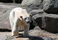 Stock image of a polar bear roaming in the Berlin zoological garden.<br /> <br /> (For Editorial use only)