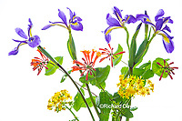 30099-00720 Blue Flag Iris, Dropmore Scarlet Honeysuckle & Butterweed (high key white background) Marion Co. IL