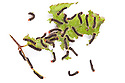 Chinese Oak Tussah Silkmoth {Antheraea pernyi} caterpillars feeding on leaf, photographed on a white background. The cocoons of this moth are used to make tussah silk (a wild silk). Captive insect, originating from China. website