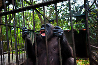 A chimpanzee male, holding the rusted bars of its cage, screams wildly at the Havana Zoo, Havana, Cuba, 12 February 2011. The largest and the oldest zoo in Cuba (founded in 1939) is located in a centric neighborhood of the capital. Since the 1990s Cuba struggles with chronic economic crisis and therefore the strong marks of rundown and lack of sources are evident within the whole zoological garden. A lot of cages are empty and out of use for long time, the remaining animals are captured in poorly maintained pits. Concrete enclosures have no vegetation, all facilities are unkept. The food supply is often inadequate and visitors throw junkfood to the animals because there are no zookeepers around.