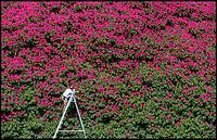 Britain's biggest Rhododendron burst into life.