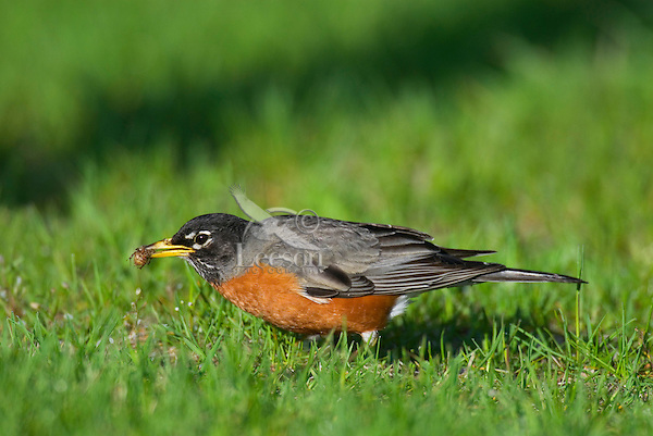 American Robin (Turdus migratorius) catching and eating junebug.