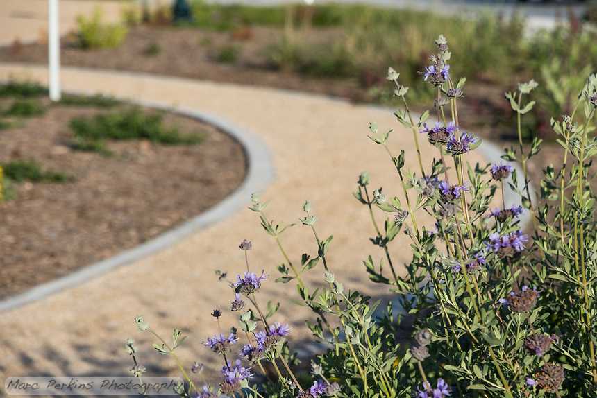 A blooming sage stands in front of a curving decomposed granite pathway at State Street Park.