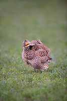 572110218 a wild male lesser prairie chicken tympanuchus pallidicinctus an endangered species rousts or ruffles his feathers at a lek on a ranch near canadian texas united states