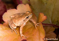 0811-0902  Spring Peeper Frog Climbing on Orange Leaf, Pseudacris crucifer (formerly: Hyla crucifer)  © David Kuhn/Dwight Kuhn Photography