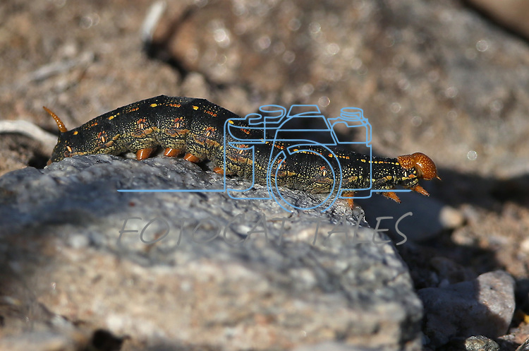 A caterpiller cruises through the wildflowers in Death Valley, Ca., on Tuesday, March 15, 2016. <br />