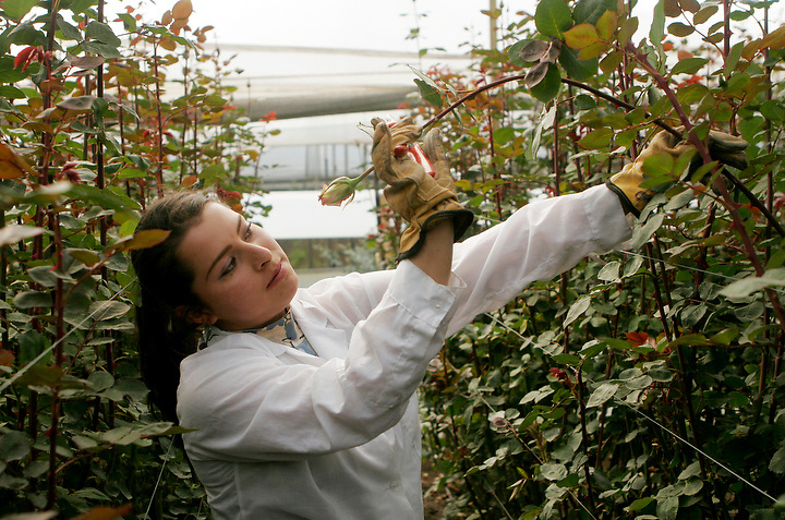 BOGOTA, COLOMBIA -- JANUARY 21: A worker inspects a rose to see if it is ready for harvest at Alpes Flowers near Bogota on January 21, 2007. ..(Photo by Dennis Drenner/Aurora).