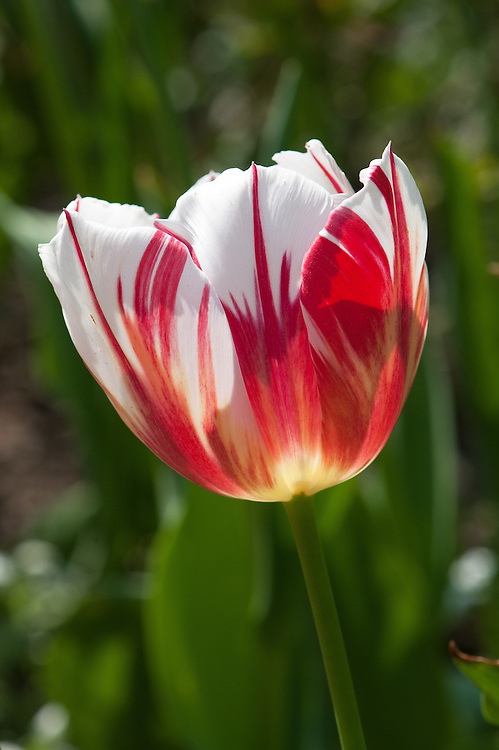 Tulip 'World Expression' (Single Late Group), late April. Red flames stand out on a creamy-yellow flower displaying a unique, eye-catching color combination.  Yellow gradually turns pure white as the bloom matures. Huge, 6in (15cm) blooms when fully open on long, strong stems.