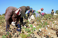 BURKINA FASO, village GOUMSIN near SAPONE, organic and fair trade cotton farming, manual harvest at farm / fair gehandelte Biobaumwolle, manuelle Ernte
