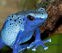 0929-07rr  Dendrobates azureus - Blue Poison Arrow Frog ñ Blue Dart Frog  © David Kuhn/Dwight Kuhn Photography