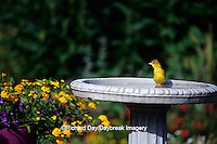 01618-004.10 Orchard Oriole (Icterus spurius) female bathing in bird bath near flower garden Marion Co. IL