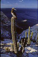 A lone island in the northern part of the Sea of Cortez or Gulf of California with vertical walls climbing 1000 foot from the sea is Isla San Pedro Martir. Like many islands in the gulf, Martir is home to many colonies of birds like the brown footed Booby sitting atop this cactus. The Brown booby, like his cousin, the blue-footed booby populate these islands as does lizards and insects which bring a distinct quality to the life found here much like the rattleless rattlesnake found on one island in the gulf...