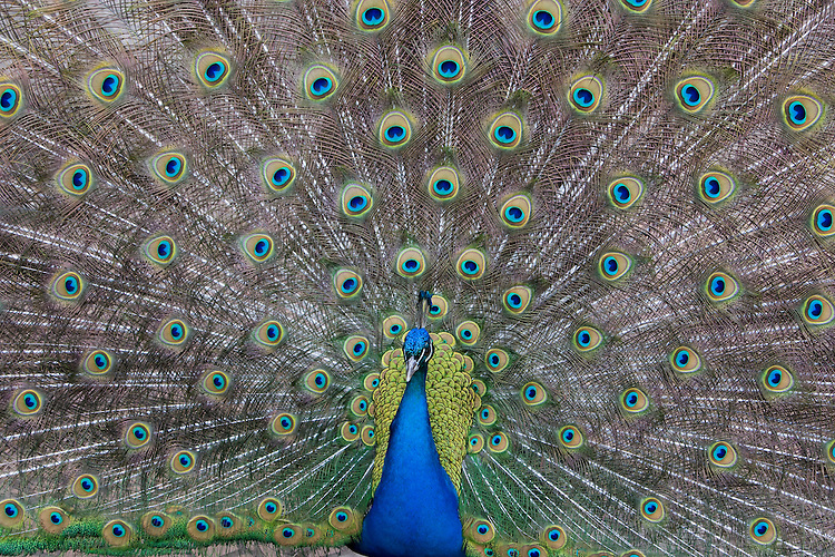 Peacock male displaying ( Pavo cristatus)