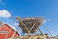 cod stockfish hanging on wooden drying racks, called flakes, during the winter months in Lofoten, Norway