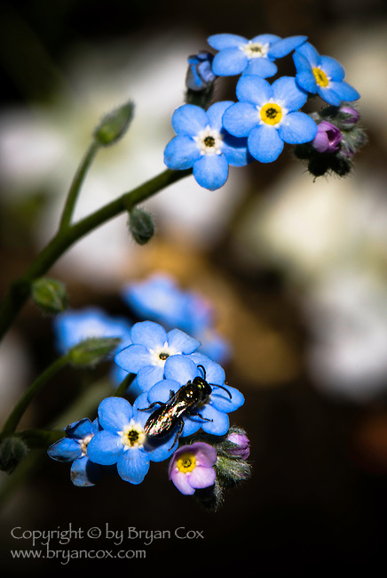 Wasp on forget-me-nots
