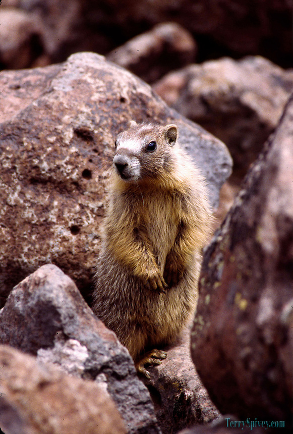 Yellowbelly Marmot Yellowbelly Marmot