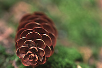 Pinecone, Witherle Woods, Castine, Maine, US
