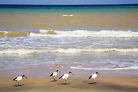Somaliland. Sahil province. Berbera. Red sea on the gulf of Aden. Four birds on a sand beach. Somaliland is an unrecognized de facto sovereign state located in the Horn of Africa.  © 2006 Didier Ruef