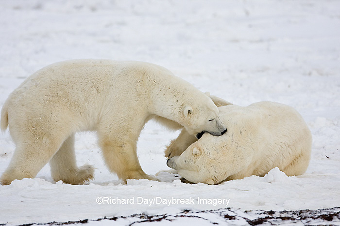 01874-11220 Polar Bears (Ursus maritimus) sparring, Churchill Wildlife Management Area MB