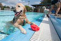 NWA Democrat-Gazette/J.T. WAMPLER Ripley pauses while playing aqua fetch Sunday Sept 10, 2017 during Wags and Waves at the Springdale Aquatic Center which is closed for the season. Ripley came to the pool with Dusty and Heather Jepsen of Bentonville. The event was for people to bring their dogs and play in the pool with money and product donations going to the Springdale Animal Services. For more images from the event go to nwamedia.photoshelter.com/