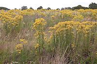 Gewöhnliches Jakobs-Greiskraut, Jakobs Greiskraut, Jacobaea vulgaris, Senecio jacobaea, Jacobea, Staggerwort