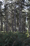Rendlesham forest, Suffolk, England