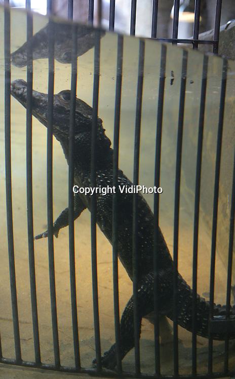 Foto: VidiPhoto..AMERSFOORT - DierenPark Amersfoort heeft vier nieuwe breedvoorhoofdkrokodillen, een ernstig bedreigde diersoort. De vier vrouwtjes komen uit een dierentuin in Engeland en zijn vrijdag in hun nieuwe verblijf geplaatst. De breedvoorhoofdkrokodil is een van de kleinste soorten ter wereld en kan maar maximaal anderhalf tot twee meter worden. In Nederland zijn er slechts twee dierenparken met deze krokodillensoort.