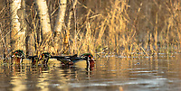 Drake wood ducks in northern Wisconsin
