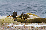 Walruses hauled out on the beach at Torellnest on Nordaustlandet, Svalbard, Norway