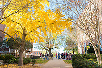 Gingko trees and fall foliage - sidewalk between Carpenter and McCain.<br />